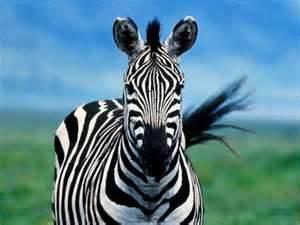 Lisa Ryan Grategy zebra